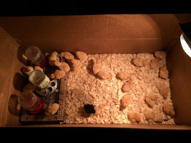26-chicks